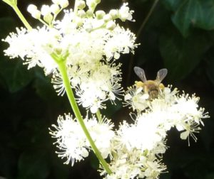 enlarged Honeybee on Meadowsweet