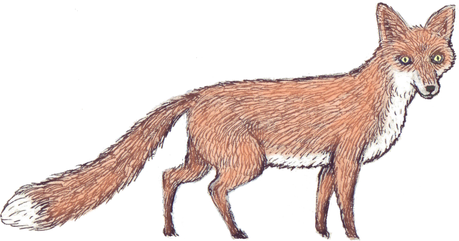 fox-illustration