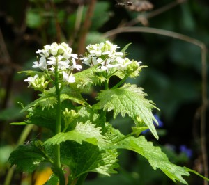 garlic mustard with hoverfly
