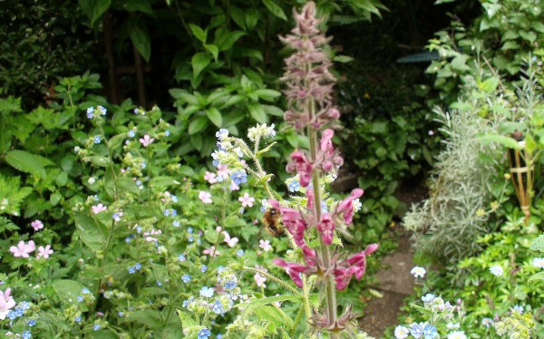 hedge woundwort with bumblebee, alkanet, wargrave pink, sharpen