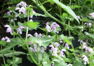 lamium-maculatum-bittersweet-flowers