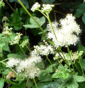meadowsweet with honeybee