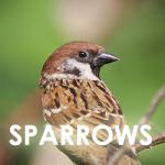 sparrow-icon