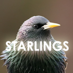starling-icon