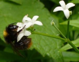 Bumblebee on Sweet Woodruff early June 2013