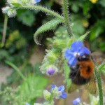 web - insect, bumblebee with rusty cloak on alkanet