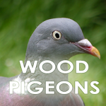woodpigeon-icon