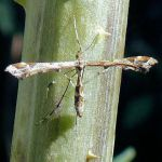 1 - Plume Moth Amblyptilia acanthadactyla on Teasel stalk, July 2014
