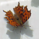 2 - Comma on garden chair