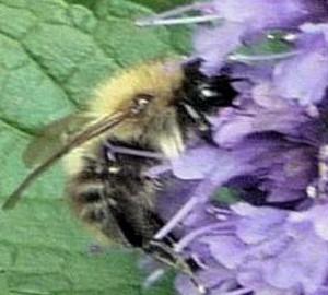 Agastache Blackadder bumblebee