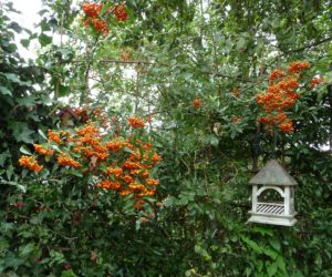 Bempton House with Pyracantha berries