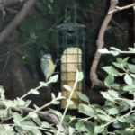Blue Tit on long feeder, suet log