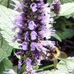bumblebee-on-agastache-blackadder-crop-sharp