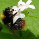 Bumblebee on Sweet Woodruff 2
