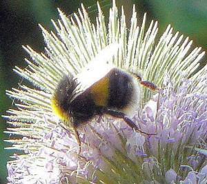 Bumblebee on Teasel crop