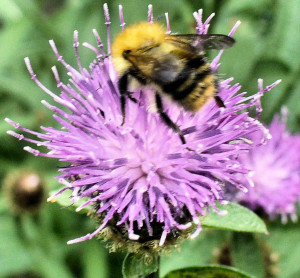 Bumblebee on knapweed july 2014.