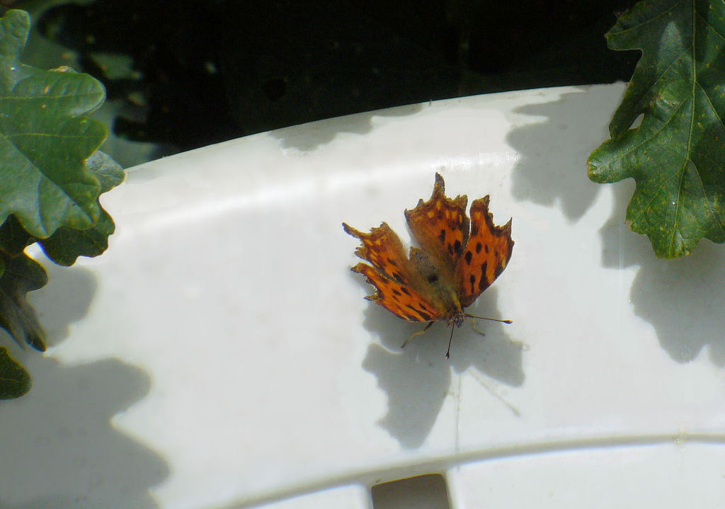 Comma on garden chair