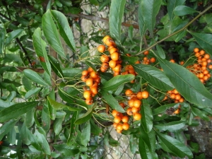 Close-up of pyracantha berries