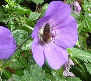 Geranium Rozanne with honeybee