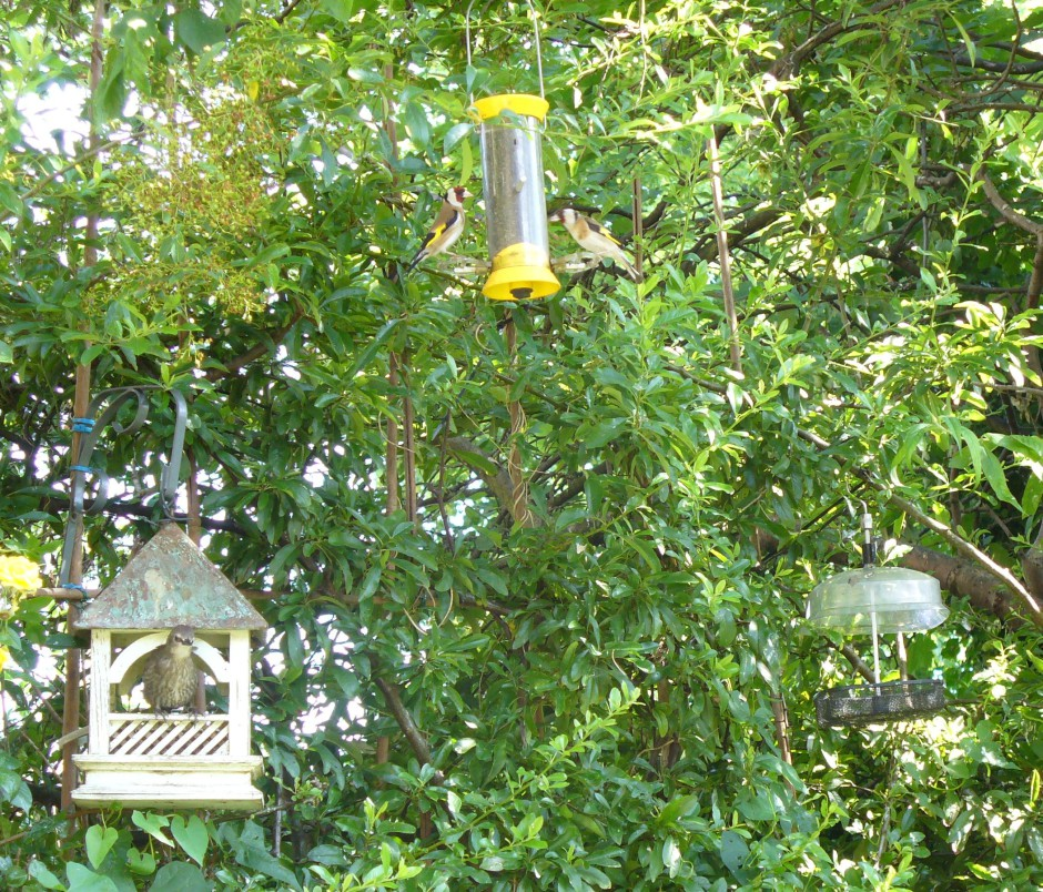 Goldfinch couple on yellow feeder, Starling fledgie in Bempton 29