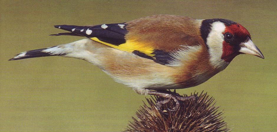 Goldfinch-crop