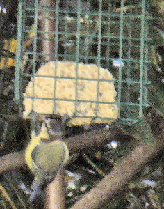 Great tit on treat block