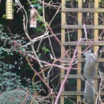 Greenfinch, Sparrow and Squirrel trellis