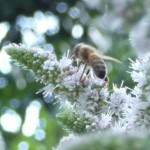 Honeybee on Applemint thumbnail