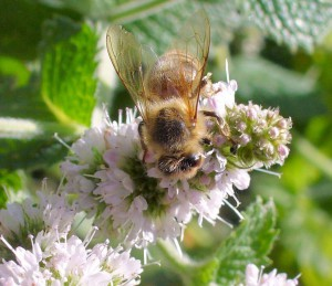 Honeybee on applermint flower