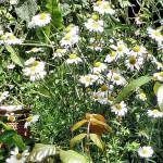 Oxeye Daisy crop