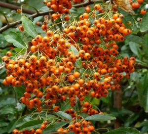 PYRACANTHA BERRIES, 3 SEPT 2014