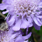 Scabious 2012