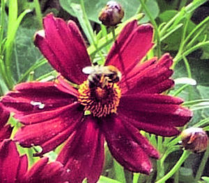 small-bee-on-coreopsis-limerock-ruby