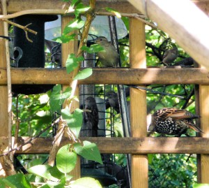 Sparrows, starling, feeders