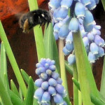 Spring Bee, Muscari 2 April 2016 P1050728