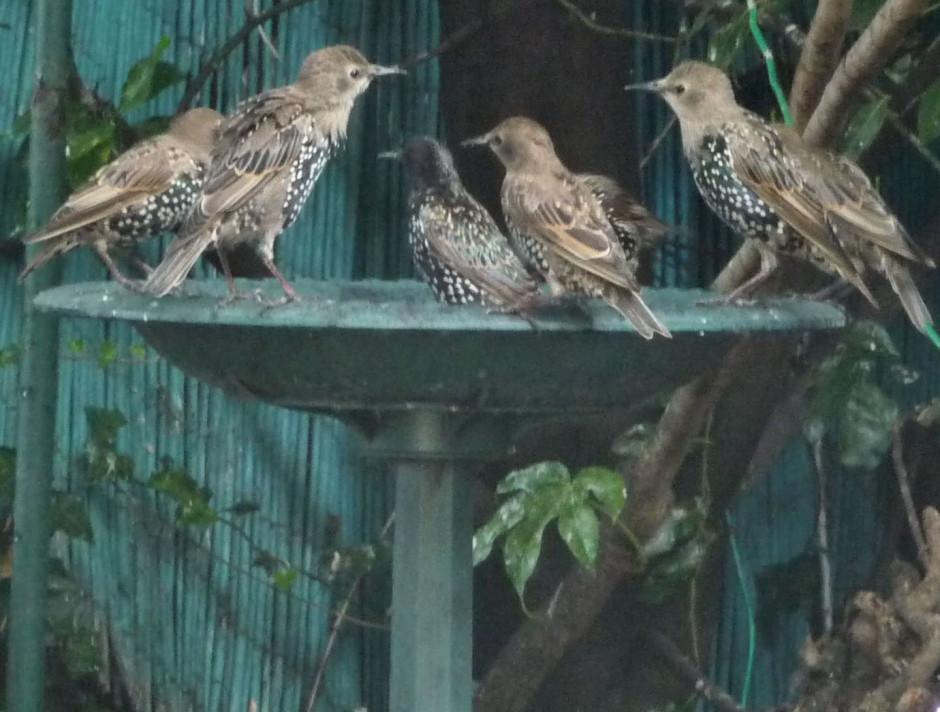 Starling birdbath crop