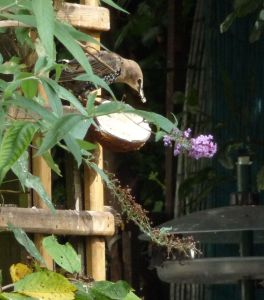 Starling, coconut half