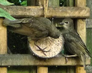 Starling fledgies on coconut shell