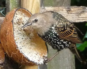 Starling on coconut