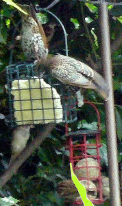 Starlings on suet feeders, late 2012