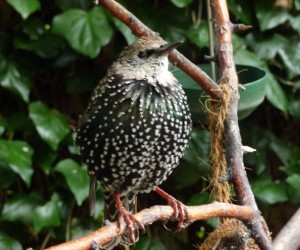 The early Starling waits for mealworm delivery