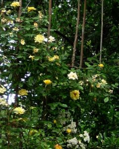 WEBSITE - Yellow Roses and White Pyracantha Flowers