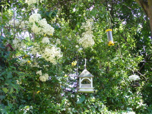 bempton feeder, yellow finch feeder, pyracantha on roger's trellis, spring 2014