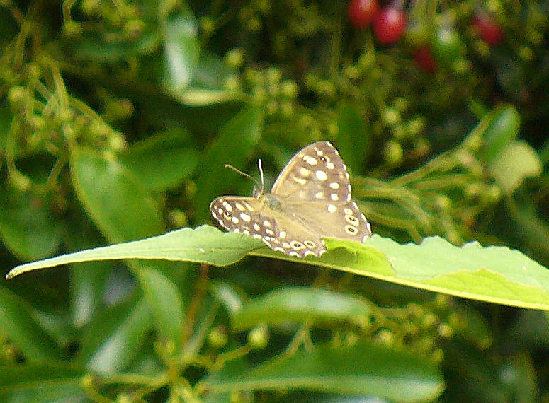 Speckled Wood in sunshine