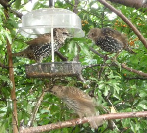 starlings at mealworm feeder