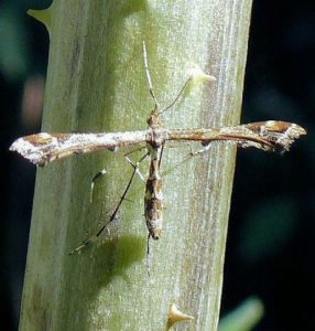 plume-moth-amblyptilia-acanthadactyla-on-teasel-stalkjuly-2014