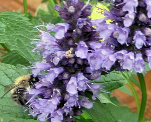 1. Bumblebee on Agastache Blackadder crop