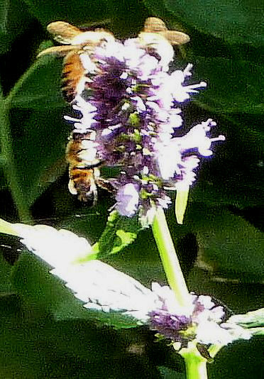 2. Agastache Blackadder w 3 Honeybees
