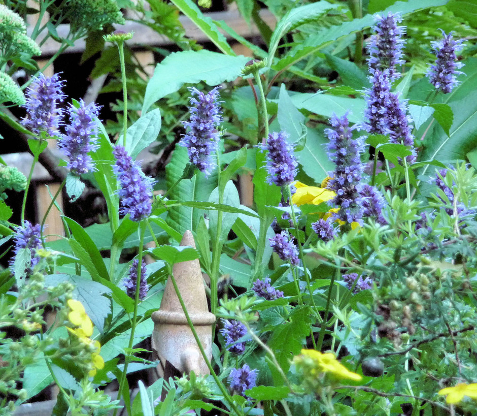 3. Agastache Blackadder 6 Sept 2015 in shade