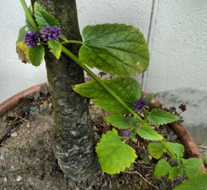 5. Mimi's Agastache Blackadder with Olive tree
